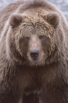 Grizzly / Brown Bears