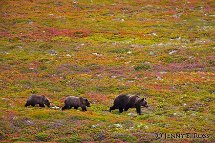 Kamchatka brown bear (Ursus arctos) mother & cubs