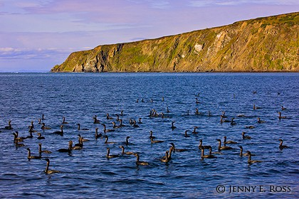 Pelagic cormorants (Phalacrocorax pelagicus), Bering Sea