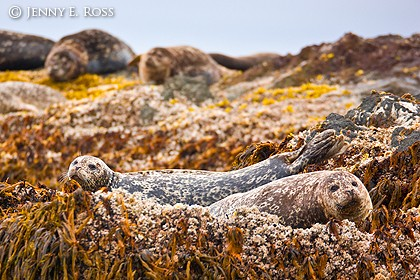 Harbor seals (Phoca vitulina), Bering Sea