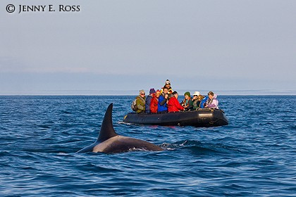 Ecotourists and orca (Orcinus orca), Bering Sea