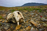 Skull of young Pacific walrus (Odobenus rosmarus divergens) on arctic tundra