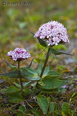 Capitate Valerian (Valeriana capitata) on arctic tundra