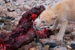 Greenland sled dog puppy eating walrus meat