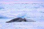 Harp seal mother & pup