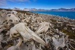 Beluga whale bones at site of abandoned whaling station, Spitsbergen