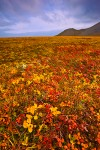Low-arctic tundra plants in autumn colors, Chukotka