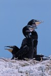 Double-Crested Cormorant (Phalacrocorax auritus albociliatus), chicks on nest