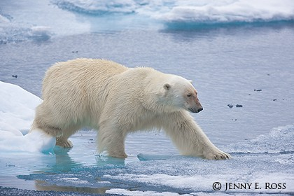 Polar bear tentatively traveling across thin ice