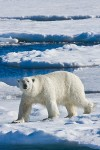 Adult male polar bear traveling on sea ice