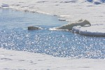 "Polar bear slowly sliding into water between ice floes to begin an ""aquatic stalk"""