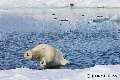 Subadult polar bear diving off an ice floe into an open lead