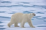 Adult male polar bear traveling on melting sea ice