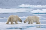 Two adult male polar bears confronting one another on melting sea ice