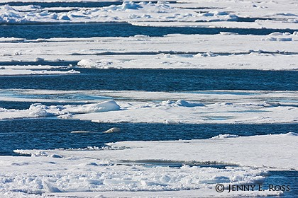 Well-camouflaged polar bear swimming between sea ice floes