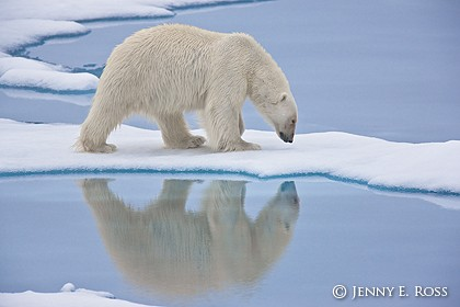 Young adult male polar bear following a scent on sea ice