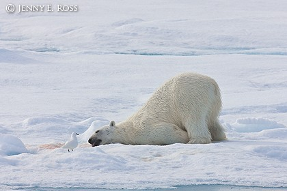 Polar bear and ivory gull after a meal of seal