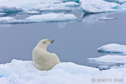 Polar bear resting on sea ice at an open lead