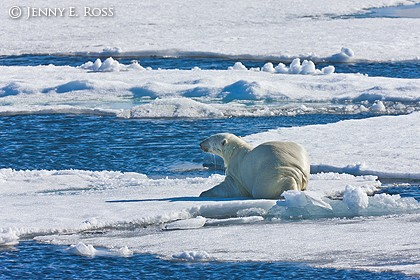 Polar bear keeping a low profile as he stalks prey