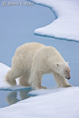 Polar bear traveling on melting sea ice