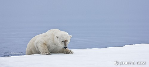 Adult male polar bear carefully sliding backwards into water to begin stalking prey