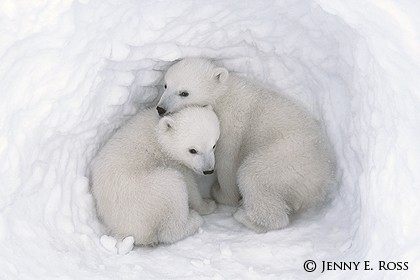 Twin Cubs in a Snow Den #4