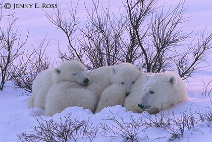 Mother and Cubs Resting at Sunset