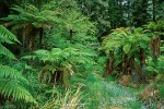 Tree Fern Forest #1