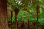 Tree Fern Forest #2