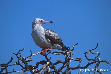 Red-Footed Booby #1