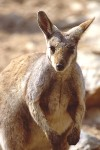 Black Footed Wallaby