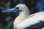 Red-Footed Booby #2