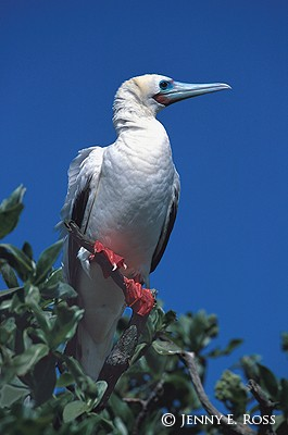 Red-Footed Booby #3