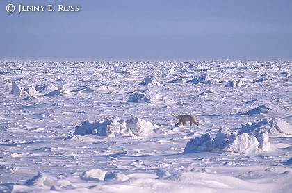 Sea Ice Solitude