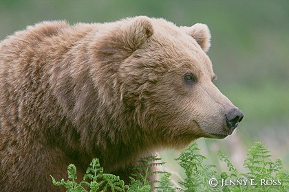 A Blonde Grizzly