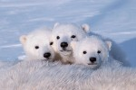 Polar Bear Triplets