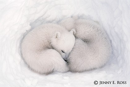 Twin Cubs in a Snow Den 3