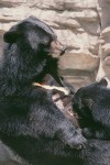 Asian Bear Nursing