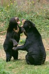 Playful Sun Bears