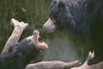 Sloth Bear Confrontation
