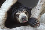 Sun Bear Portrait