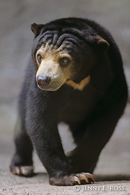 Sun Bear Walking