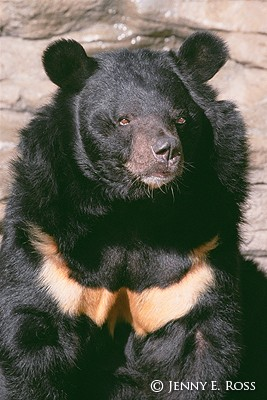 The Asiatic Black Bear #2