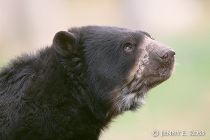 The Spectacled Bear #2