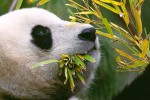 Eating Bamboo