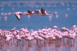 Flamingoes, Lake Nakuru