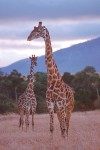 Two Masai Giraffes