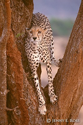 Cheetah in Acacia Tree