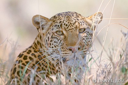 Face of the Leopard