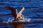 California Brown Pelican (Pelecanus occidentalis californicus)